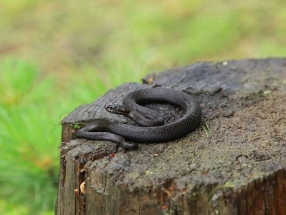 Укуси змій: що варто знати ратнівчанам