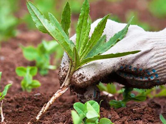 19 червня: звільняйте городи від бур'янів