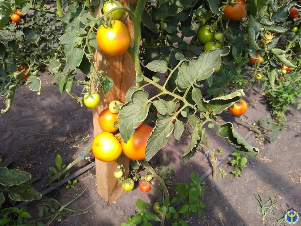 Врожай помідорів