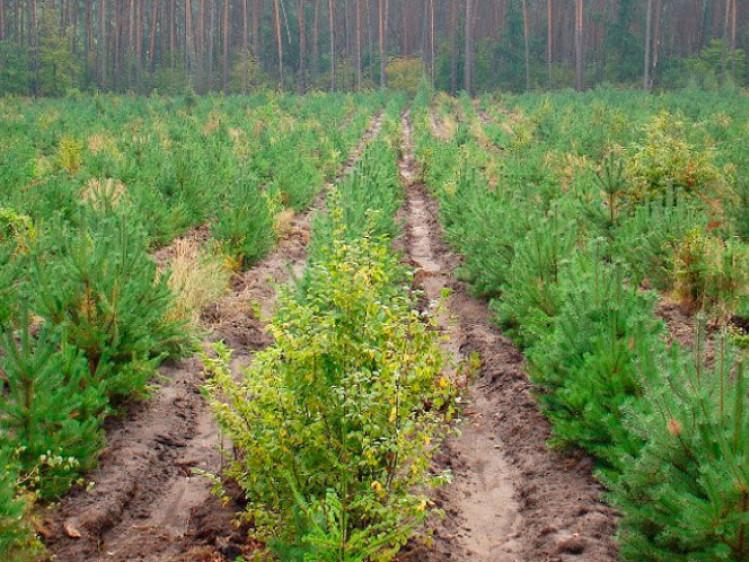 На Ратнівщині закінчують садити молодий ліс