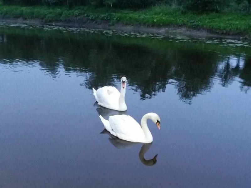 Лебеді на на річці Прип'ять