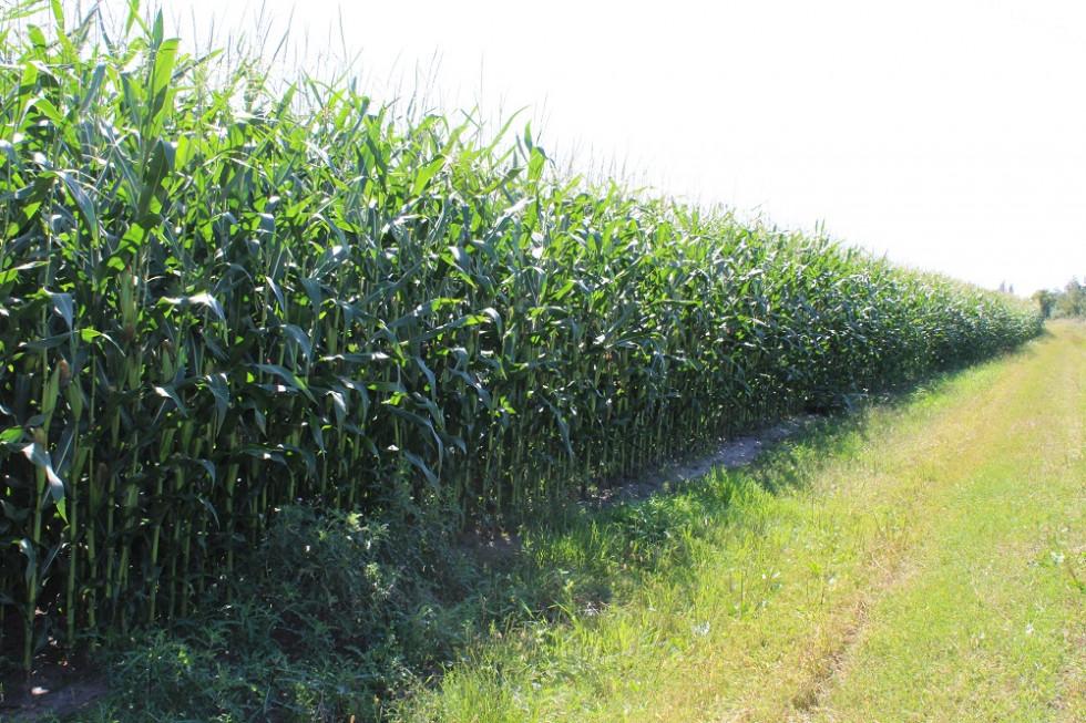 Насадження кукурудзи