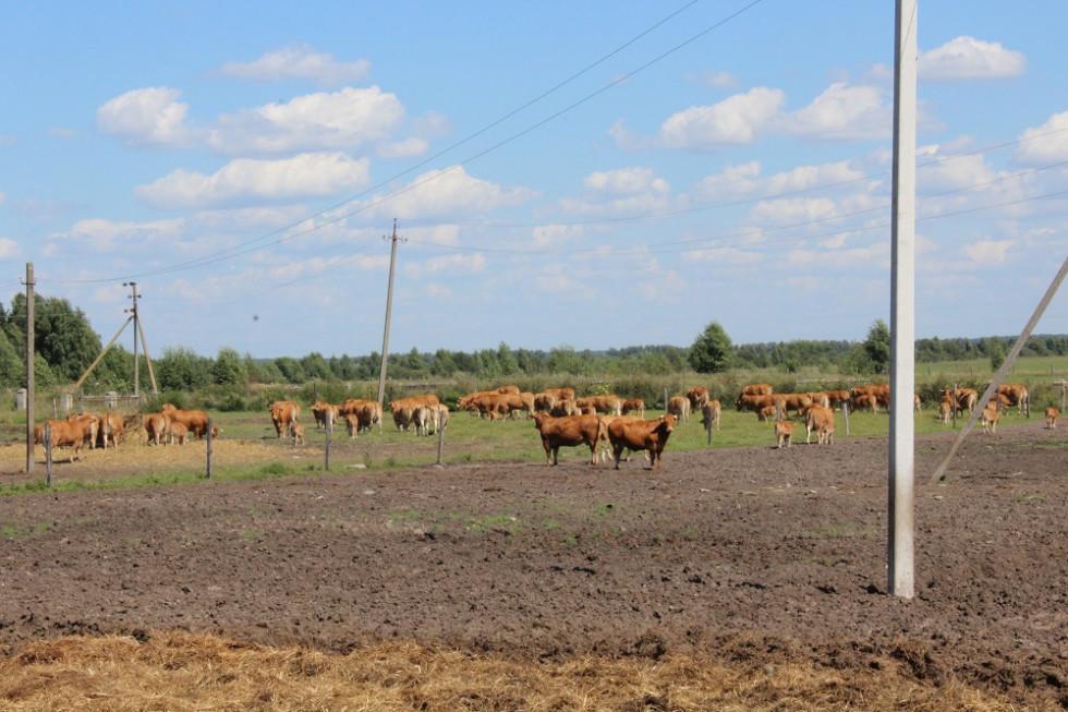 Корови виду лімузин