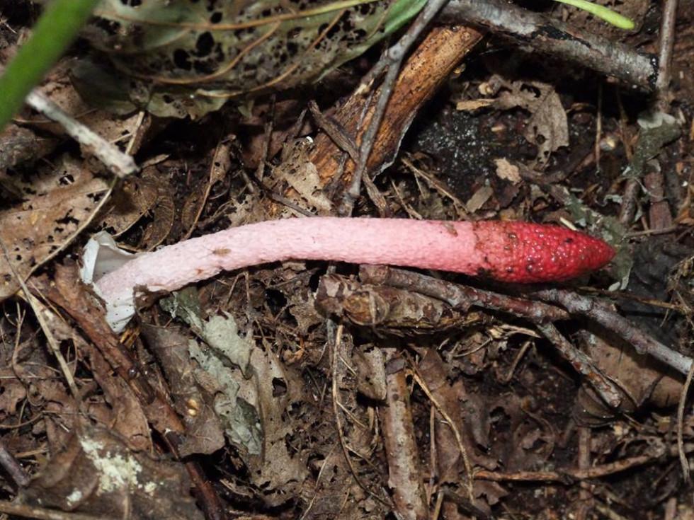 Рідкісний гриб - мутин малиновий