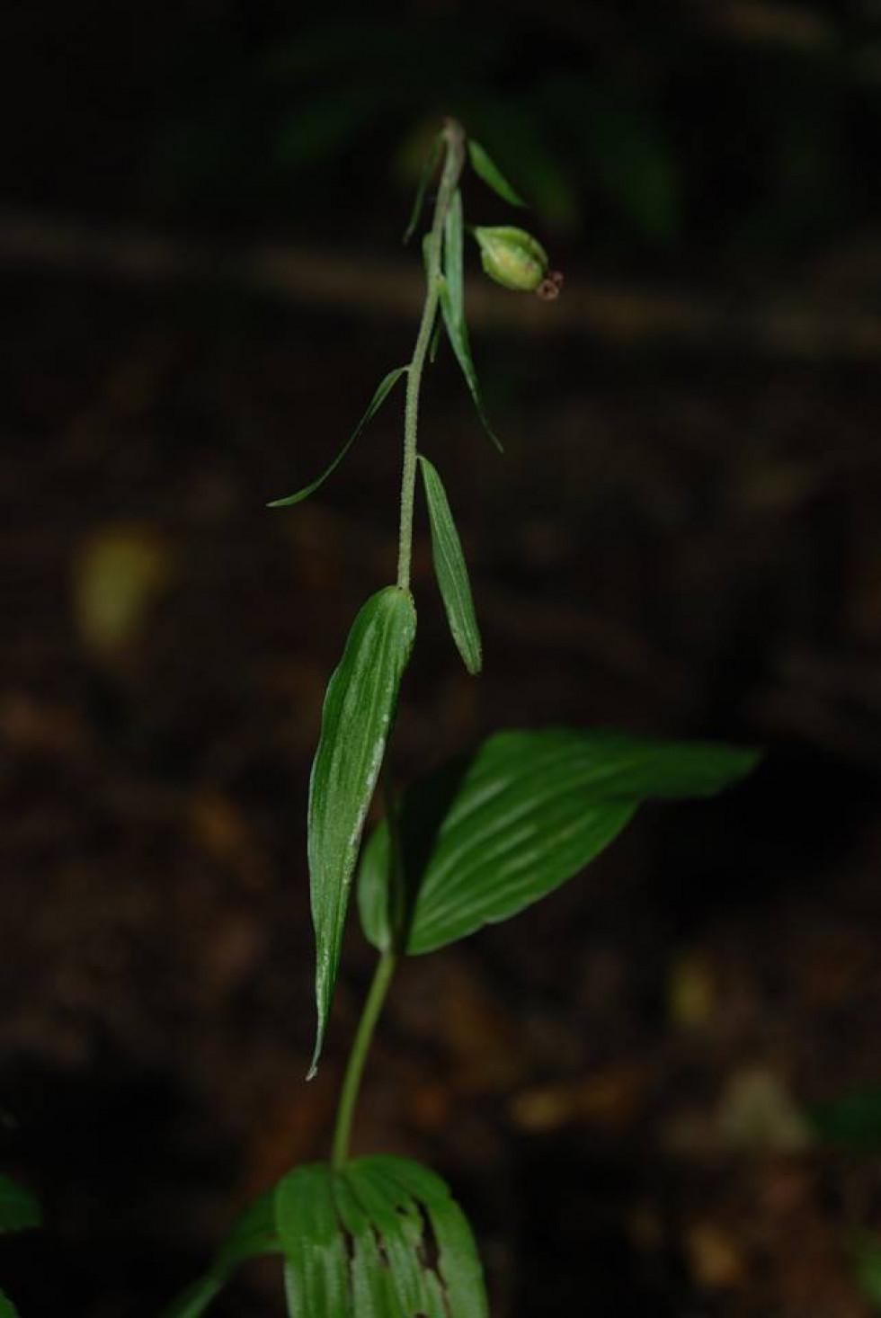 Рідкісна орхідея - коручка чемерникоподібна