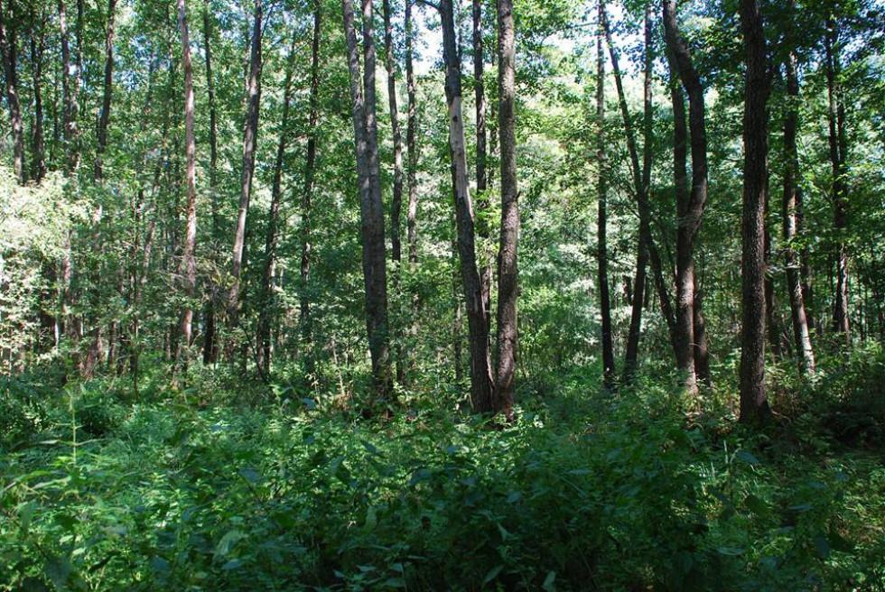Ділянка вільхового лісу