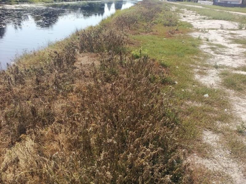 злісний бур'ян оселився на берегах річки Прип'ять
