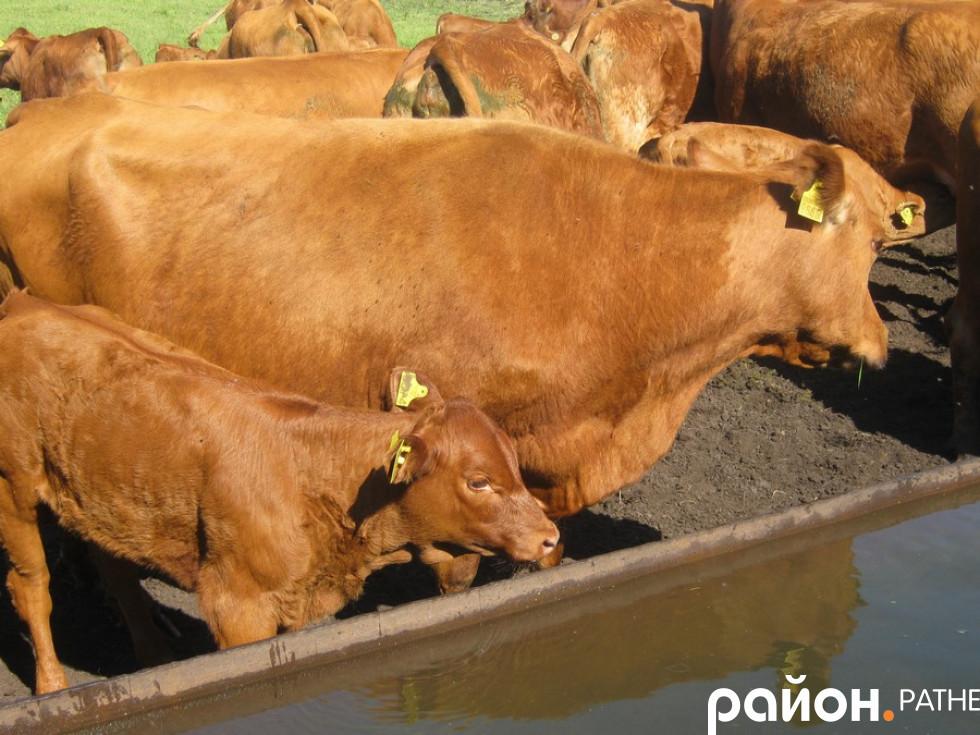 Корівки та бички господарства «Ратнівський аграрій»